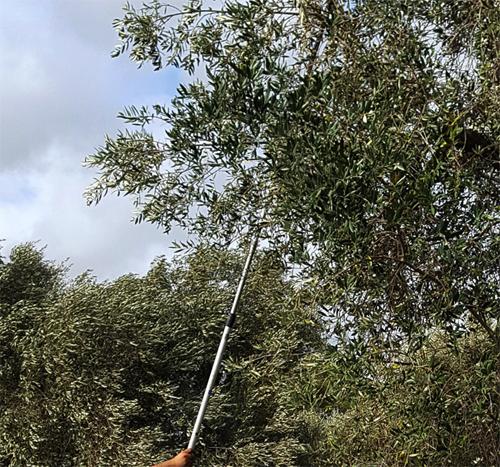 olivenoel-italien-extra-nativ-ernte-2020