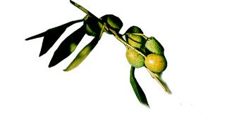 olivenoel-italien-kaufen